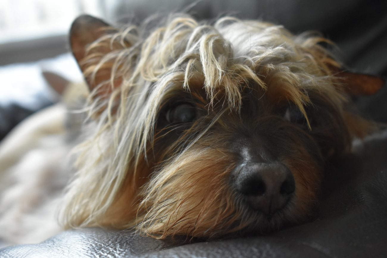 Why is my Yorkie shaking?