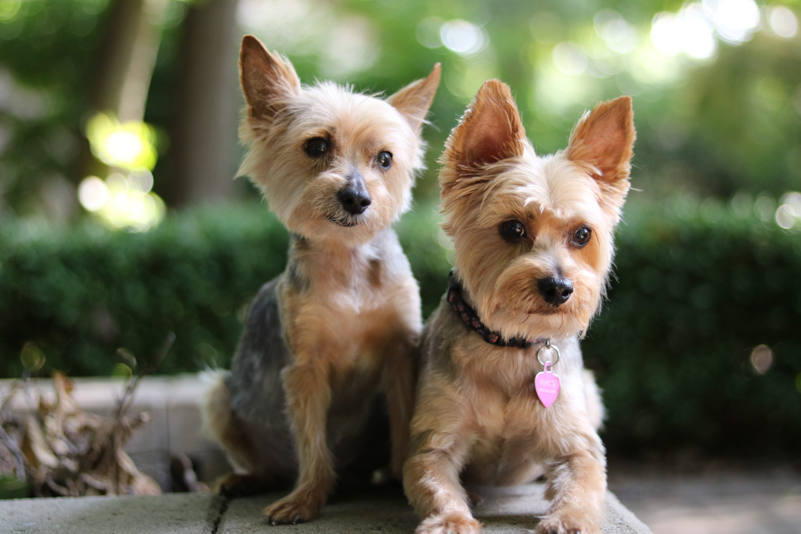 How smart are yorkies?