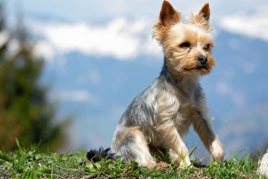 How to train a yorkie to come when called