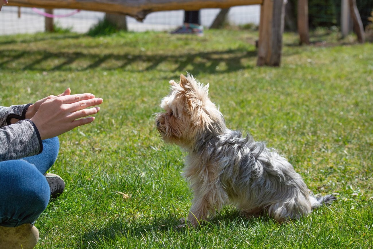 How to train your Yorkie to sit