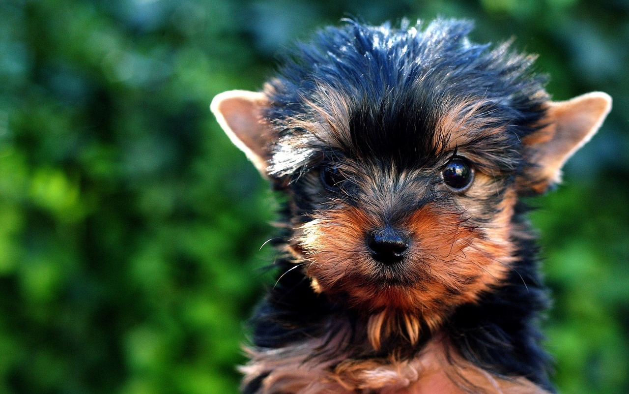 How to house train a yorkie