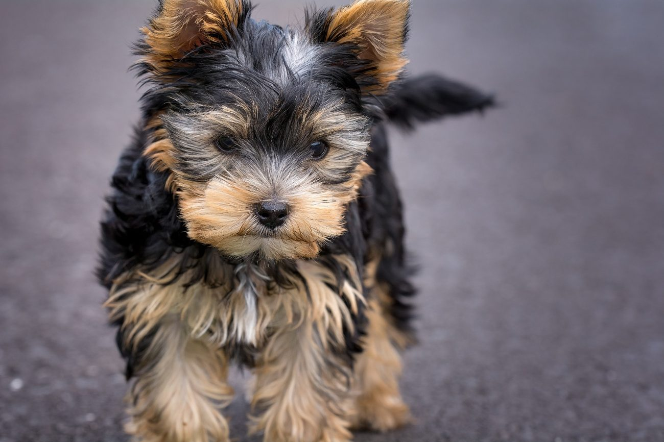 How to stop a Yorkie puppy from biting and chewing