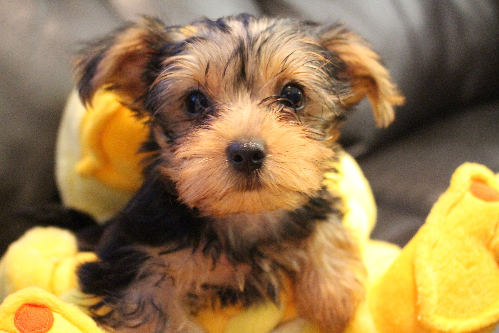 Yorkie Breeders in Florida
