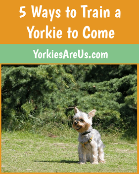 5 ways to train a yorkie to come