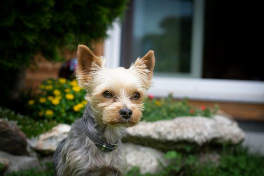 How to train a Yorkie to heel