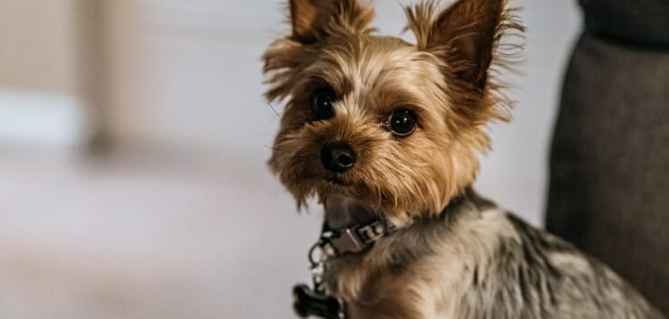 Yorkie Terrier Appearance – What Does A Yorkie Look Like