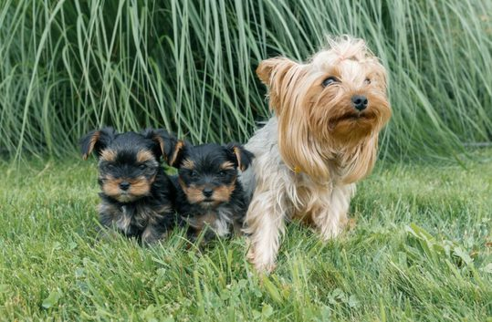 Top 5 Best Dog Gates For Yorkies