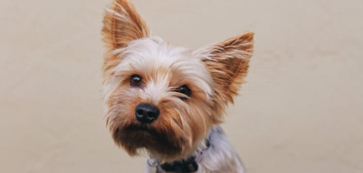 HOW MUCH DOES A YORKSHIRE TERRIER COST? (A GUIDE TO PURCHASING YOUR DREAM PUP)