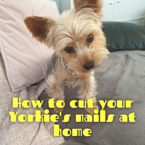 How to cut a Yorkie's nails at home