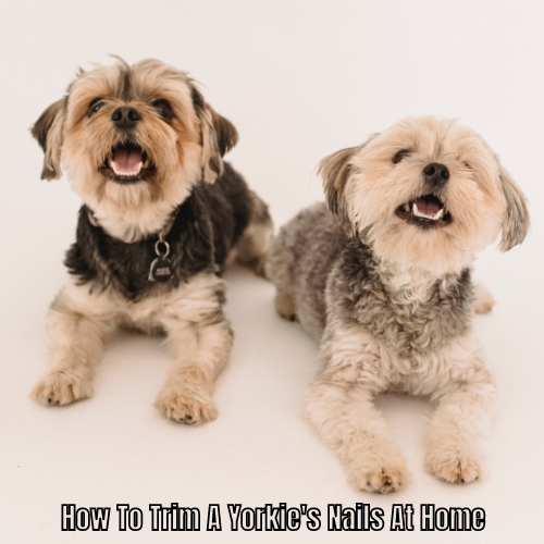 How To Trim A Yorkie's Nails At Home