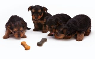 Things You Should Know Before Owning a Yorkshire Terrier