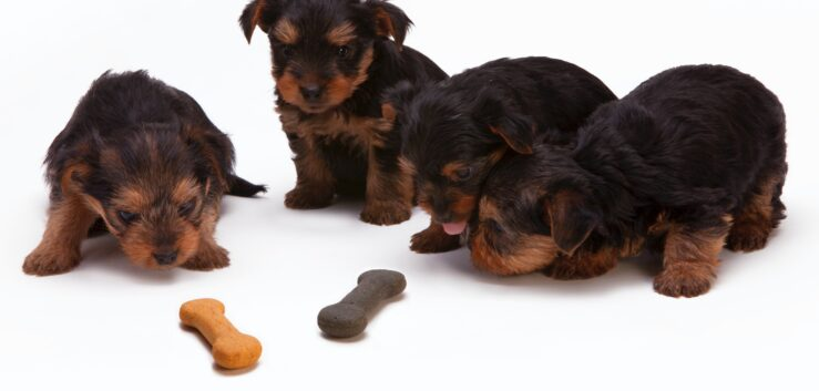 Yorkshire Terrier: What You Should Know Before Buying